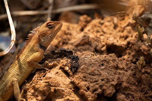lizard,muddy,soil,enjoying,sun,searching,food