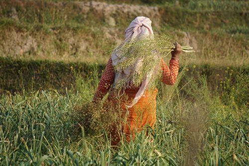 newari,woman,working,farmland,khokana,nepal
