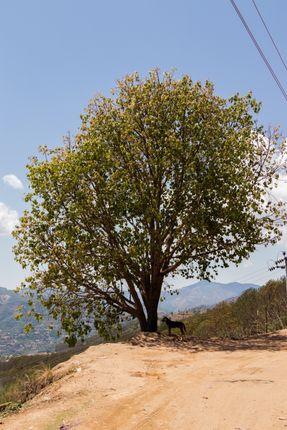 single,tree,stands,batase,dada,tansen,palpa,nepal