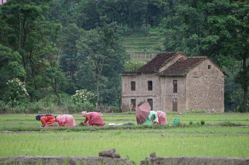farmers,planting,paddy,khokhana,nepal