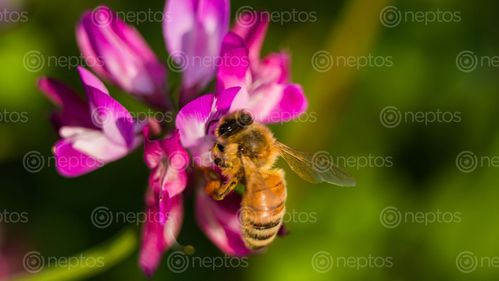 Find  the Image beauty,nature,honey,bee,flower,south,korea  and other Royalty Free Stock Images of Nepal in the Neptos collection.