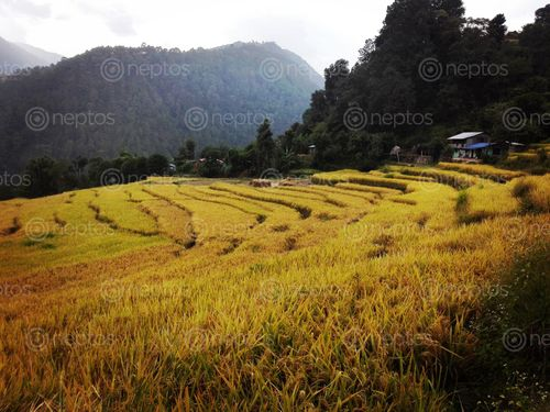 Find  the Image crop,land,hilly,reason  and other Royalty Free Stock Images of Nepal in the Neptos collection.