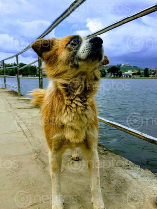 Find  the Image pet,friend  and other Royalty Free Stock Images of Nepal in the Neptos collection.