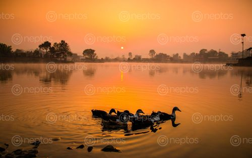Find  the Image sunrise,playing,duck,photo,taudah,lake,kathmandu,nepal  and other Royalty Free Stock Images of Nepal in the Neptos collection.