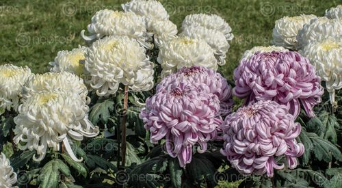 Find  the Image chrysanthemum,plant,daisy,family,brightly,coloured,ornamental,flowers,existing,cultivated,varieties  and other Royalty Free Stock Images of Nepal in the Neptos collection.