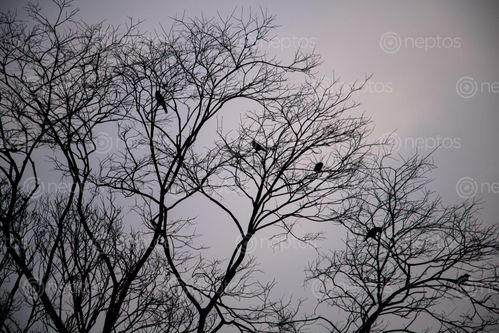 Find  the Image crows,barren,tree  and other Royalty Free Stock Images of Nepal in the Neptos collection.