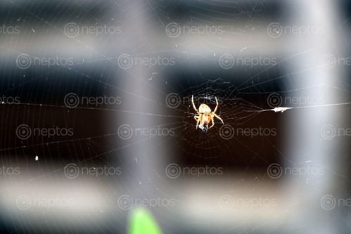 Find  the Image spider,home,images#,stock,image#,nepal,_photography,sita,maya,shrestha  and other Royalty Free Stock Images of Nepal in the Neptos collection.