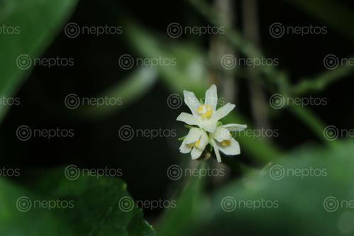 Find  the Image chayote,squash,flower,stock,image#,nepal_photography,sita,maya,shrestha  and other Royalty Free Stock Images of Nepal in the Neptos collection.