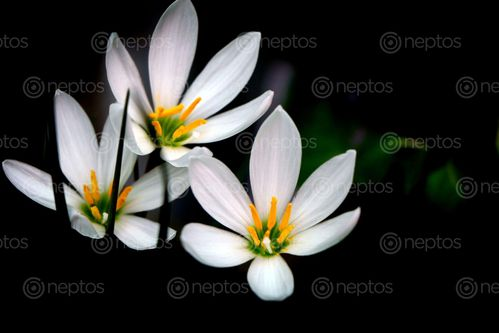 Find  the Image white,flower, stock,image#,nepal,photography,sita,maya,shrestha  and other Royalty Free Stock Images of Nepal in the Neptos collection.