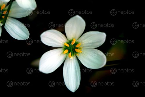 Find  the Image white,flower,|stock,image#,nepal,photography,sita,maya,shrestha  and other Royalty Free Stock Images of Nepal in the Neptos collection.