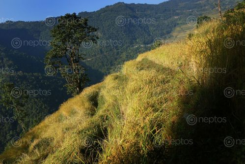 Find  the Image rice,plant,field,sindhupalchok,bigal#stockimage,#nepalphotographybysitamayashrestha  and other Royalty Free Stock Images of Nepal in the Neptos collection.