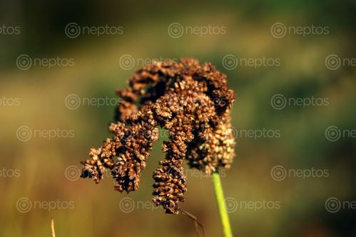 Find  the Image kodo-millet-plant-field,sindhupalchokbigal,/nepal#stockimage#nepalphotography,sita,mayashrestha  and other Royalty Free Stock Images of Nepal in the Neptos collection.