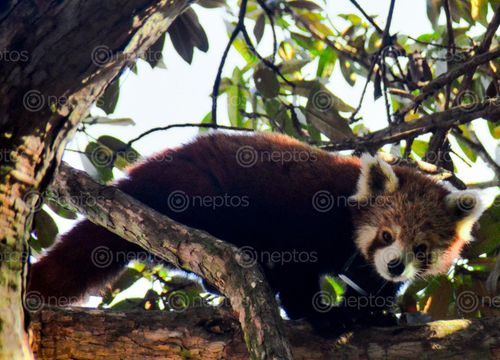 Find  the Image red,panda,gaeruwale,fidim,municipality,panchthar  and other Royalty Free Stock Images of Nepal in the Neptos collection.