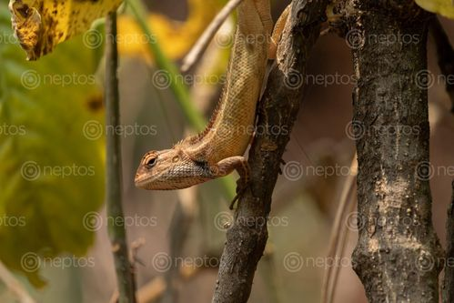 Find  the Image lizard,branch,tree,enjoying,sun,searching,food  and other Royalty Free Stock Images of Nepal in the Neptos collection.