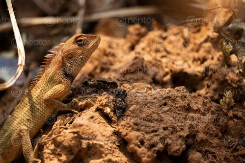 Find  the Image lizard,muddy,soil,enjoying,sun,searching,food  and other Royalty Free Stock Images of Nepal in the Neptos collection.