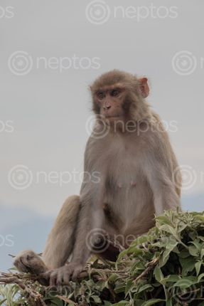 Find  the Image monkey,swayambhunath,world,heritage,site,declared,unesco,surrounding  and other Royalty Free Stock Images of Nepal in the Neptos collection.