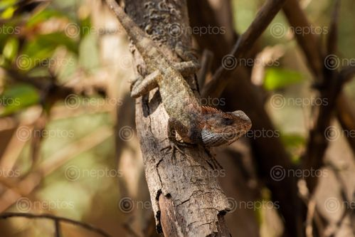 Find  the Image lizard,branch,tree,enjoying,shade  and other Royalty Free Stock Images of Nepal in the Neptos collection.