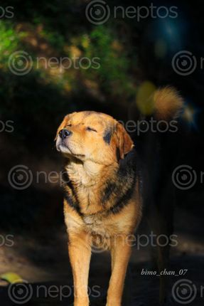 Find  the Image dogs-the,companion,human  and other Royalty Free Stock Images of Nepal in the Neptos collection.
