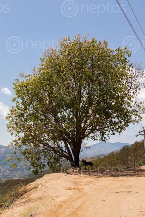 Find  the Image single,tree,stands,batase,dada,tansen,palpa,nepal  and other Royalty Free Stock Images of Nepal in the Neptos collection.